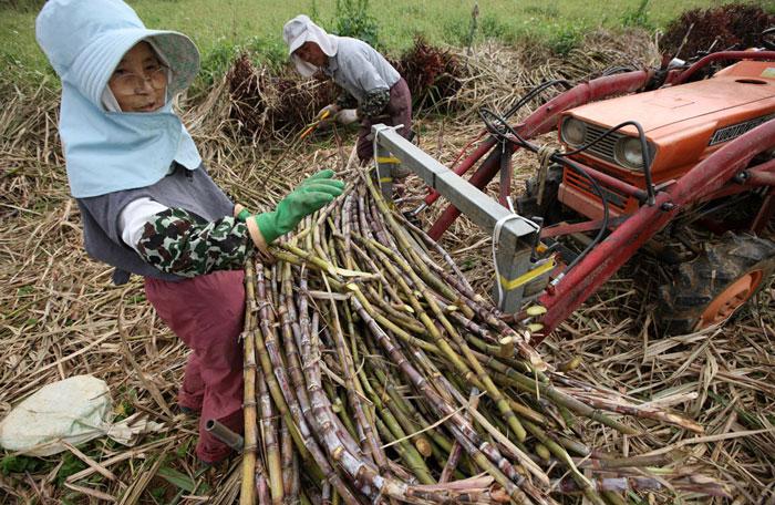 Сахарный тростник на Кубе убирают полумеханизированным способом